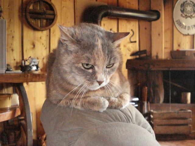 Chat sur le haut du dossier d'un fauteuil