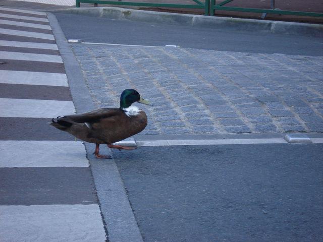 Canard sur la chaussée