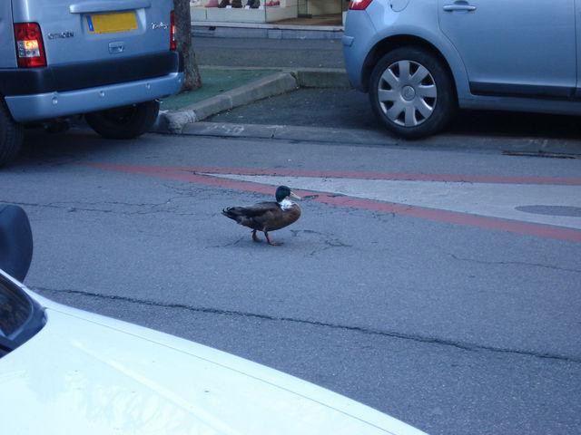 Le même canard, toujours marchant, un peu plus loin sur la route