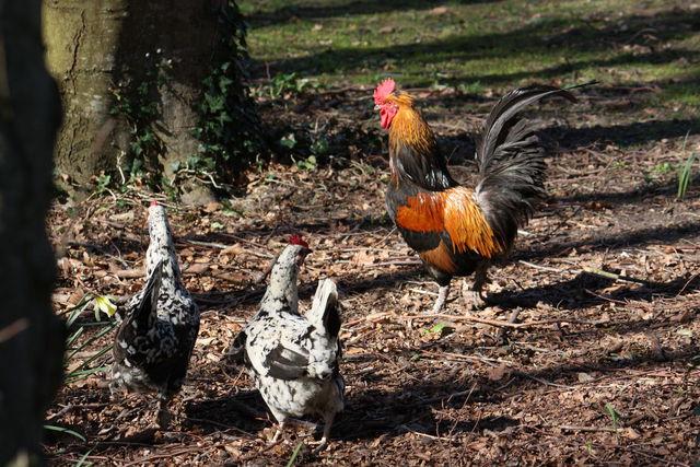 Un coq et deux de ses poules