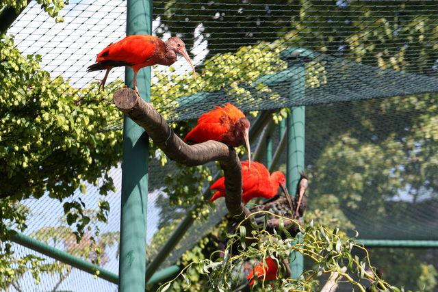 Ibis rouges sur une branche