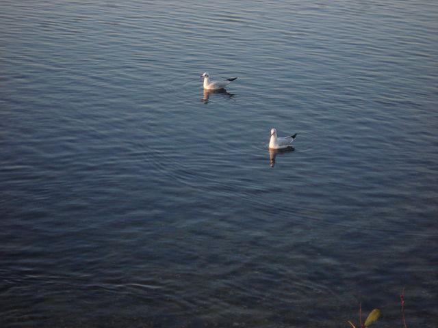 Mouettes sur un lac