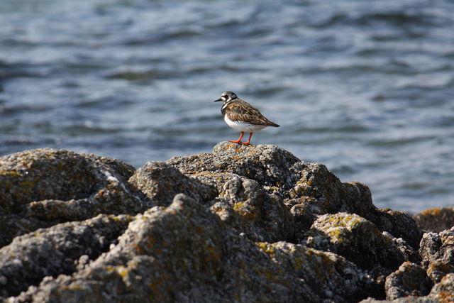 Oiseau faisant le guet sur un rocher