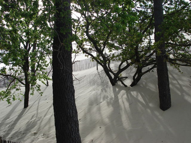 Dune du Pyla : arbres dont le pied est en partie enseveli par le sable