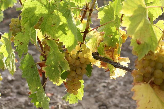 Cep de vigne avec une grappe de raisin