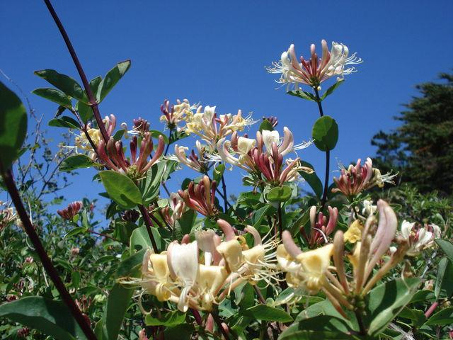 Fleurs de chèvrefeuille