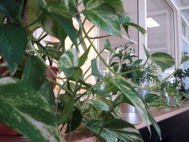 Plantes du bureau