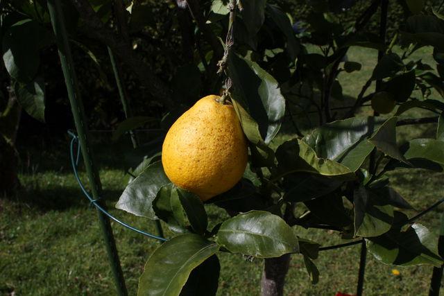 Citron en forme de poire