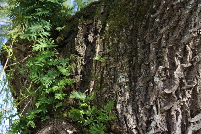 Fougères poussant sur un tronc d'arbre