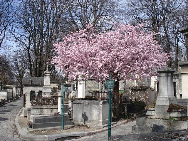 Arbre en fleurs au cimetière du Père Lachaise, à Paris